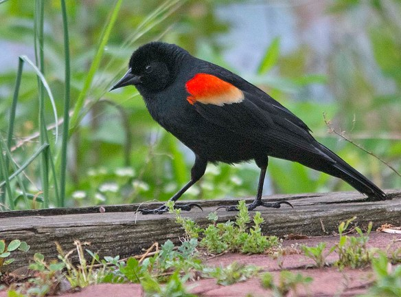 Red Winged Blackbird 2019-2