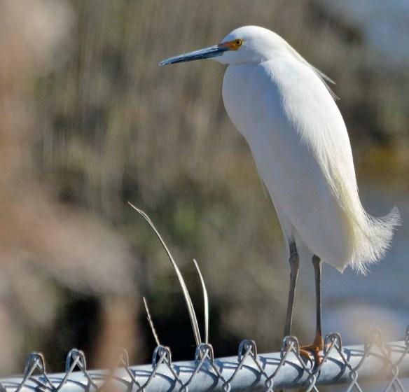 Snowy Egret 2019-3