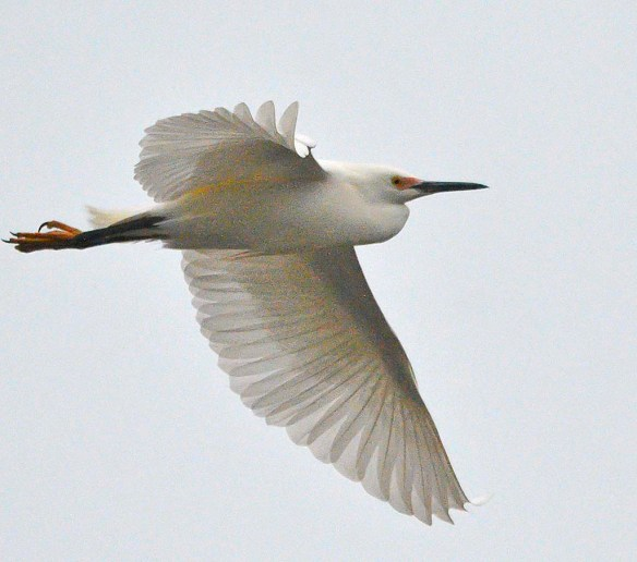 Snowy Egret 2019-4