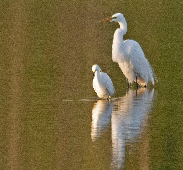 Snowy Egret 2019-5