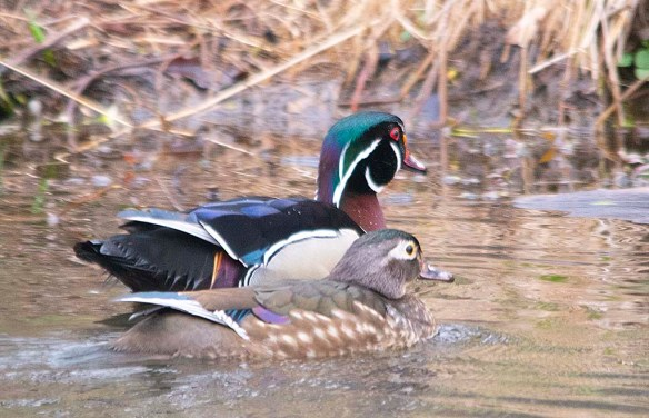 Wood Duck 2019-38