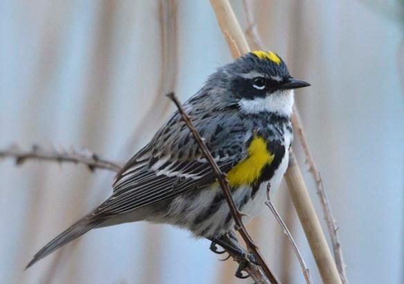 Yellow Rumped Warbler 2019-2