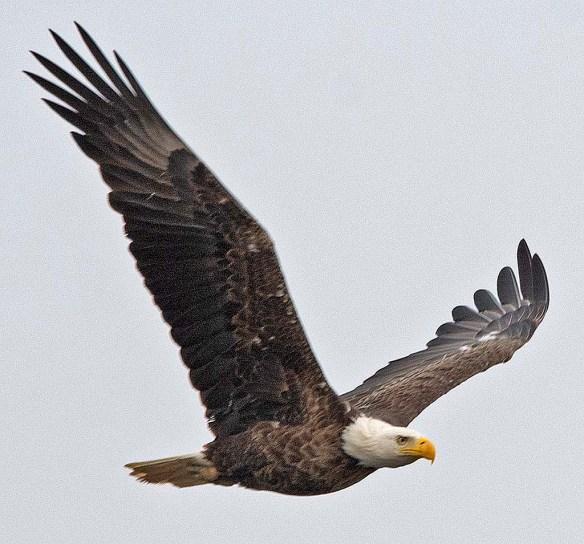 Bald Eagle 2019-27
