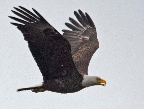 Bald Eagle 2019-29