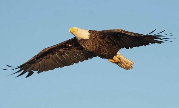 Bald Eagle 2019-31