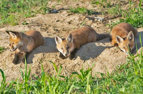 Fox 115