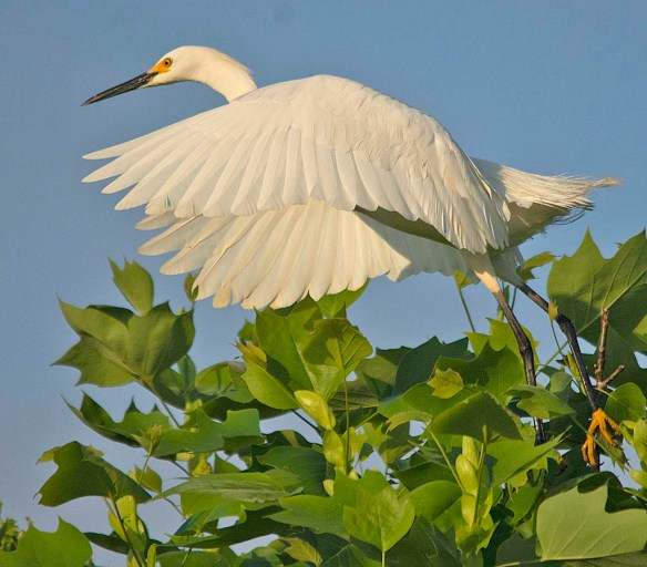 Great Egret 2019-15 - Copy