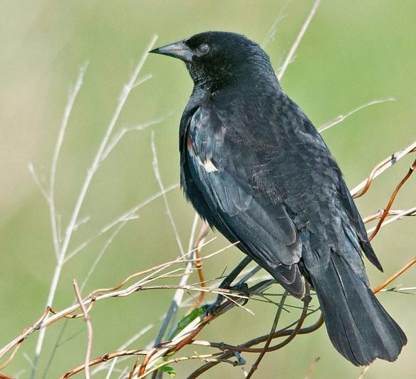Red Winged Blackbird 2019-5
