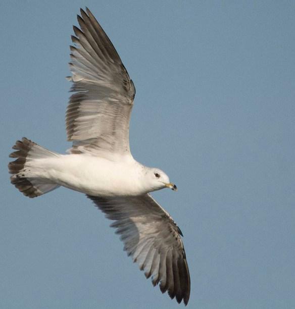 Ring Billed Gull 2019-7
