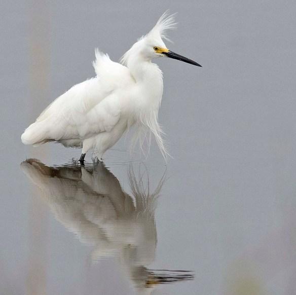 Snowy Egret 2019-6