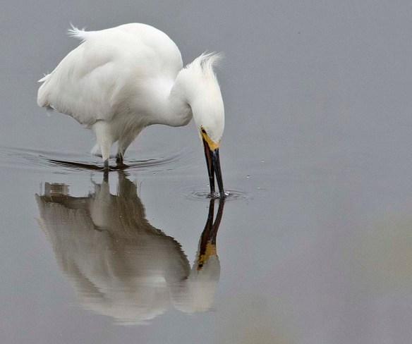 Snowy Egret 2019-7