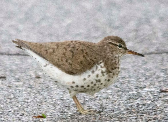 Spotted Sandpiper 2019-2