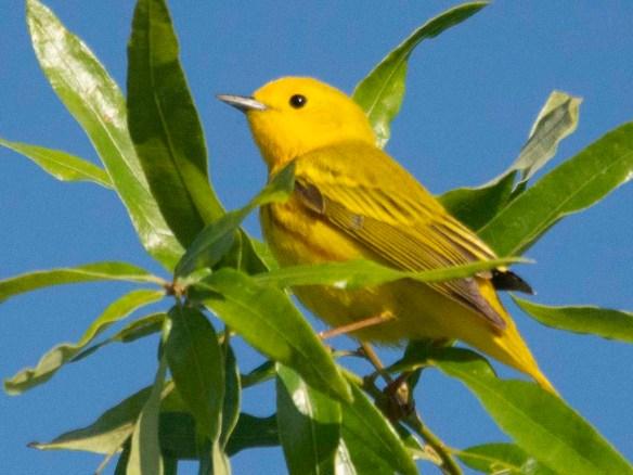 Yellow Warbler 2019-3
