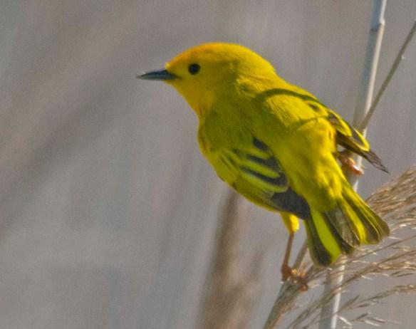 Yellow Warbler 2019-4