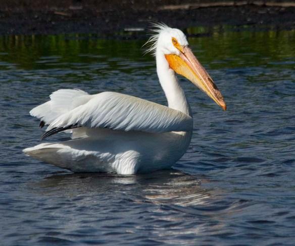 American White Pelican 2019-2