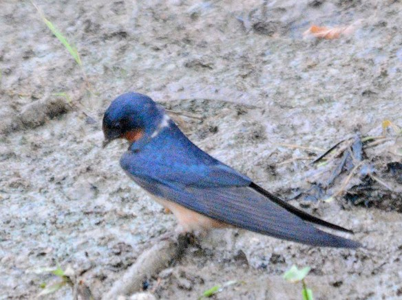 Barn Swallow 2019-1