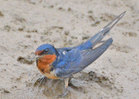 Barn Swallow 2019-5
