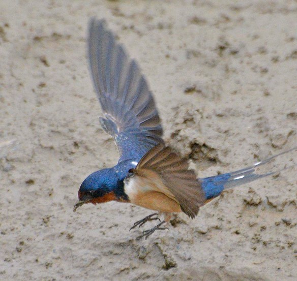 Barn Swallow 2019-6