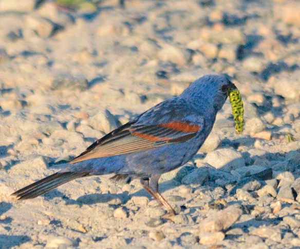 Blue Grosbeak 2019-4