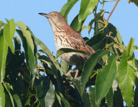 Brown Thrasher 2019-15