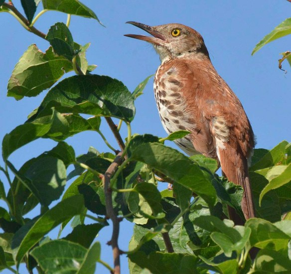 Brown Thrasher 2019-16