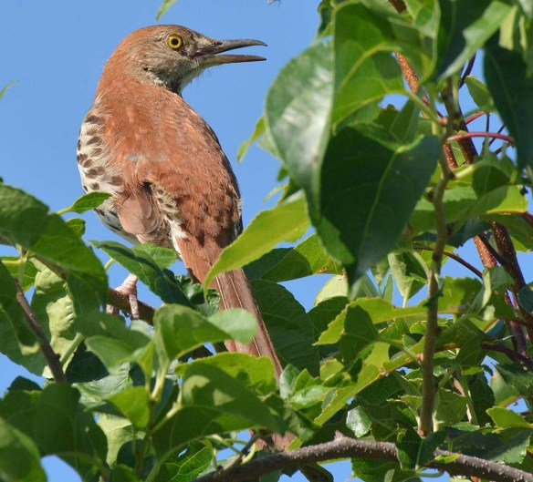 Brown Thrasher 2019-17