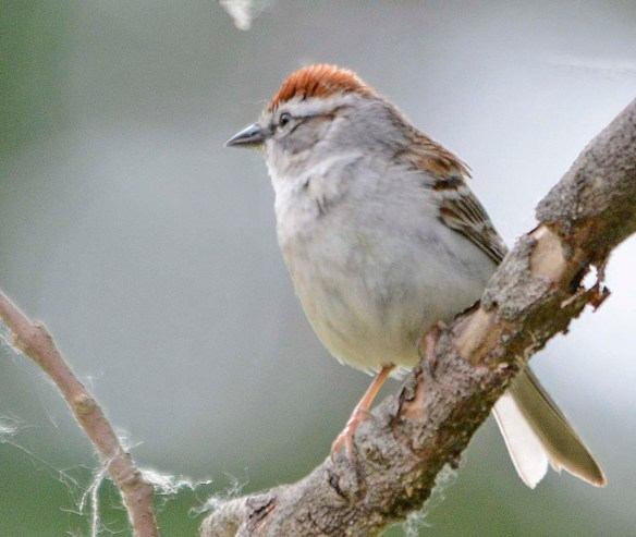 Chipping Sparrow 2019-2