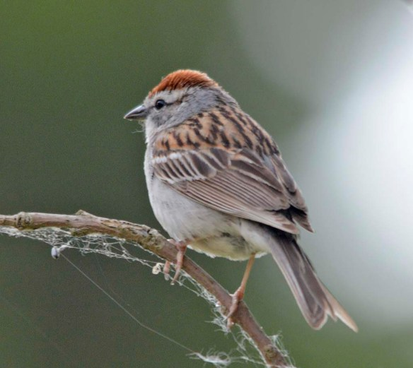 Chipping Sparrow 2019-4