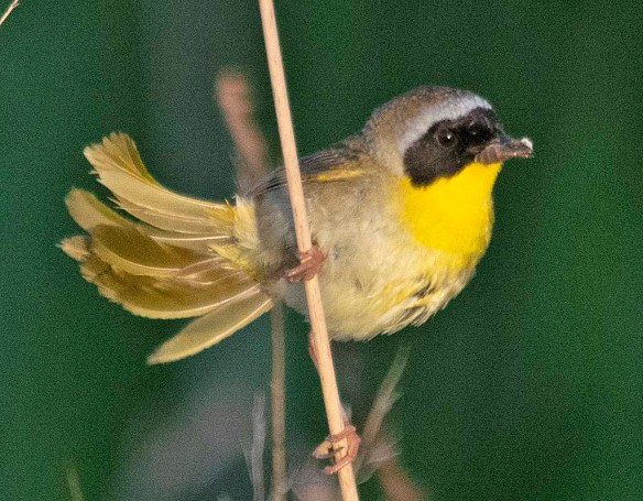 Common Yellowthroat 2019