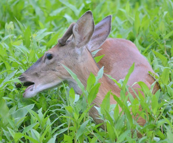 Deer-77