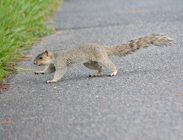 Delmarva Fox Squirrel 33