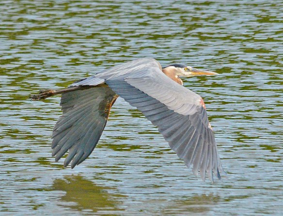 Great Blue Heron 2019-102