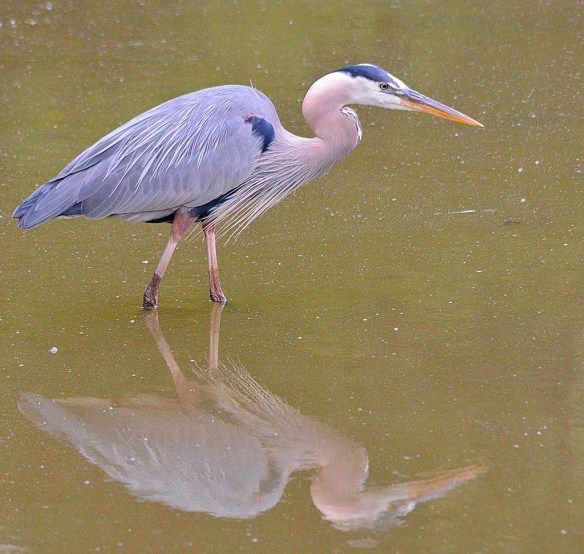 Great Blue Heron 2019-16
