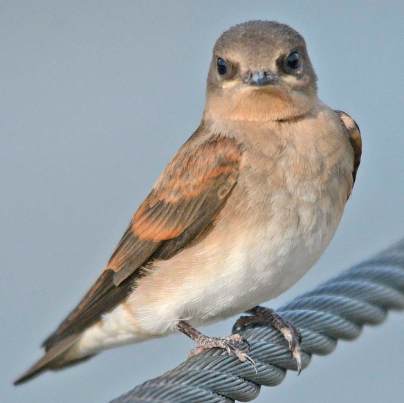 Northern Rough Winged Swallow 2019-1