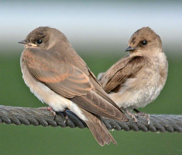 Northern Rough Winged Swallow 2019-2