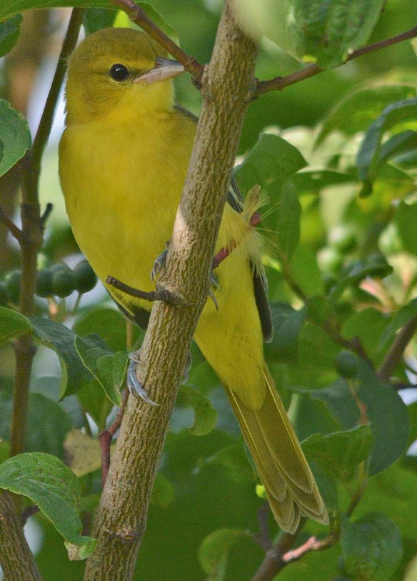 Orchard Oriole 2019-10