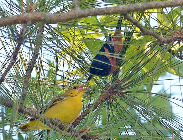 Orchard Oriole 2019-7