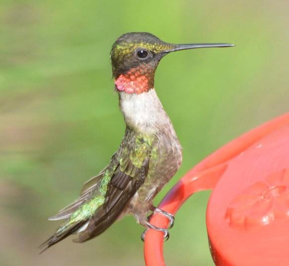 Ruby Throated Hummingbird 2019-1