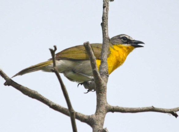 Yellow Breasted Chat 2019-101