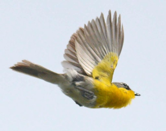 Yellow Breasted Chat 2019-102