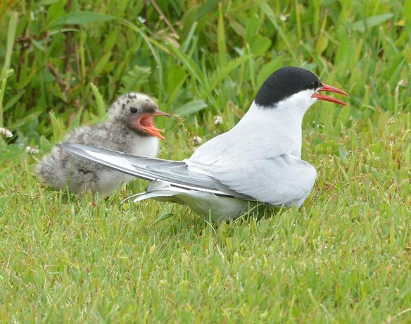 Arctic Tern 2019-3