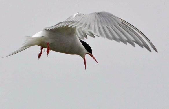Arctic Tern 2019-6