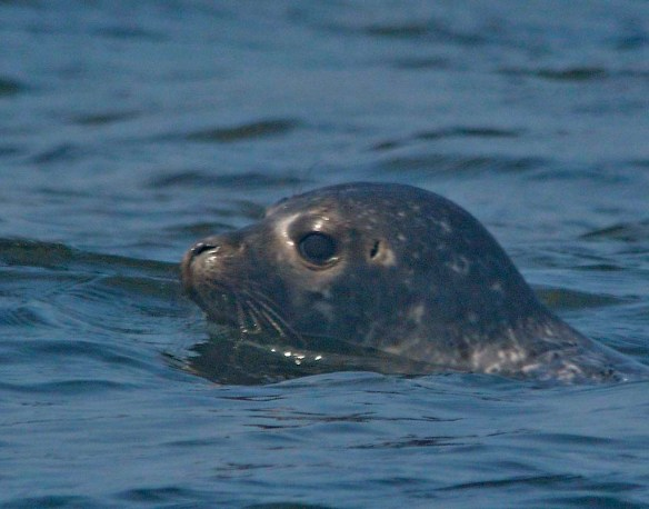 Common Harbor Seal 2
