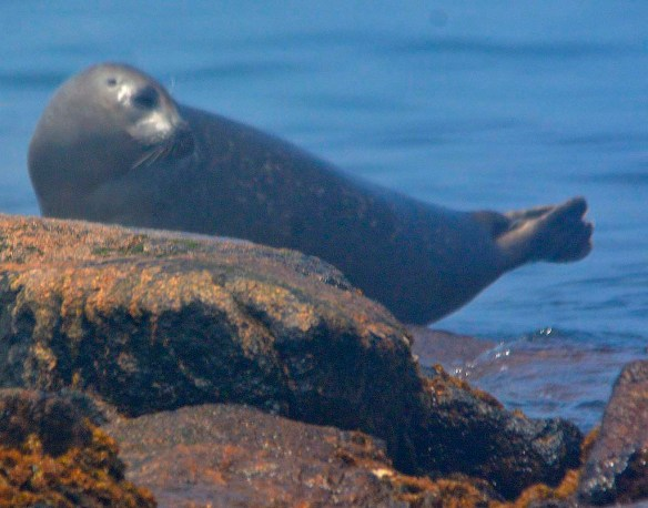 Common Harbor Seal 3