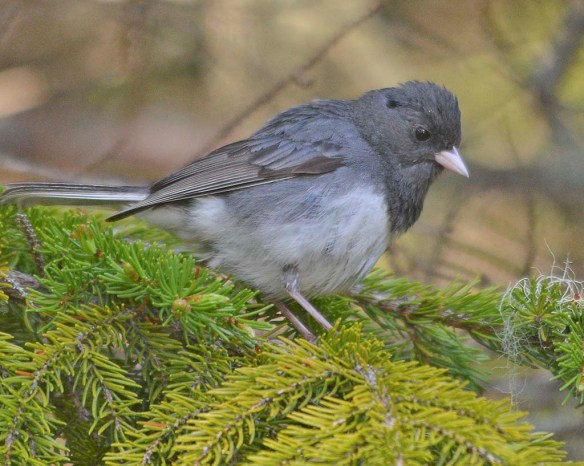 Dark Eyed Junco 2019-2