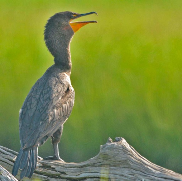 Double Crested Cormorant 2019-21