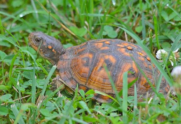 Eastern Box Turtle 9