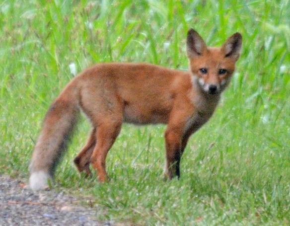 Fox 109