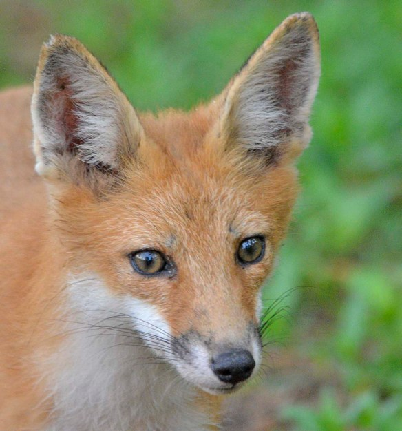 Fox 116