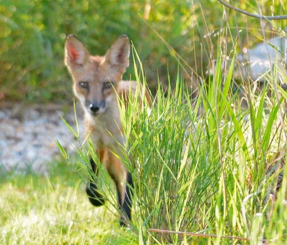 Fox 118